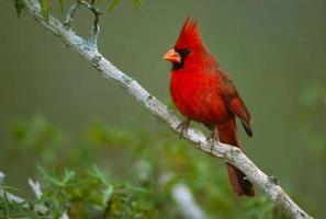 mâle cardinal du nord photo