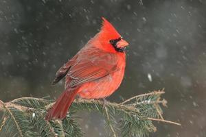 cardinal dans la neige