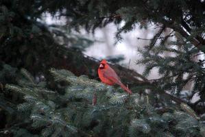 cardinal du nord photo