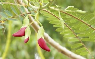 agasta / légume colibri photo
