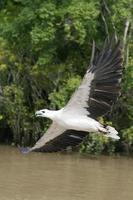 chasse aigle de mer photo