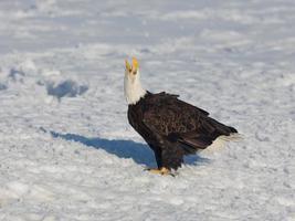pygargue à tête blanche criant dans la neige photo