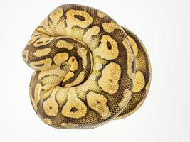 boule de python photo