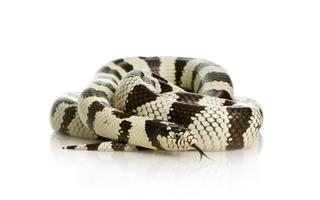 Californie serpent royal - lampropeltis getulus californiae photo