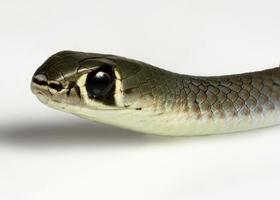 serpent fouet à face jaune photo