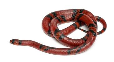 serpent au lait de mandarine honduran, lampropeltis triangulum hondurensis photo