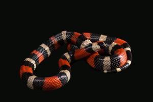 serpent de lait pueblan photo