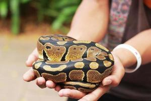 vu à la main un python tigre photo