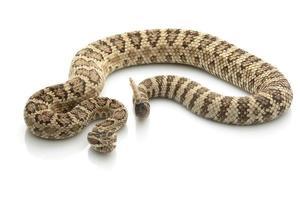 un serpent à sonnettes effrayant grand bassin