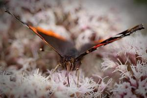 papillon amiral rouge. photo