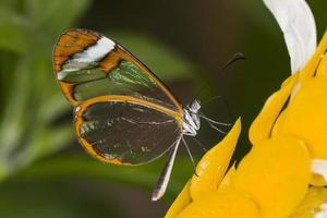 papillon aile de verre photo