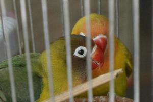 perroquets dans une cage à oiseaux photo