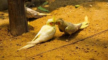 perroquet adoucissant photo