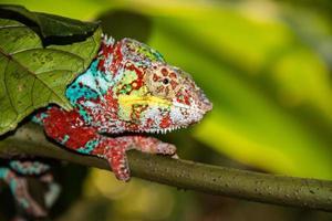 Chamaléon de Madagascar sur un fond d'arbre