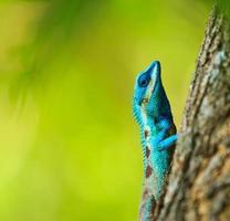 Iguane bleu sur une branche d'arbre photo