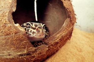 macro gecko photo