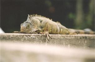 iguane photo