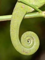queue de caméléon photo