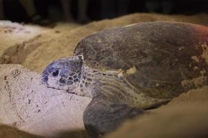 tortue pondant des œufs. photo