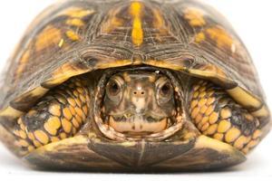 tortue-boîte
