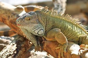 iguane vert photo