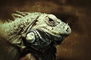 oeil de l'iguane photo