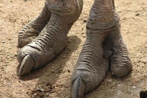 pieds d'autruche. photo