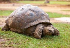 grosse tortue des seychelles dans le parc de la vanille. maurice