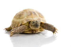 tortue sur blanc