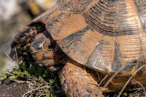 tortue terrestre - testudo graeca