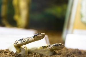 serpent à sonnette photo