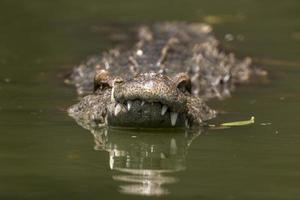 nager en crocodile