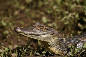 caiman gator 2 photo