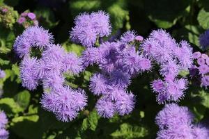 """""""fleurs de soie"""" - ageratum houstonianum photo"""
