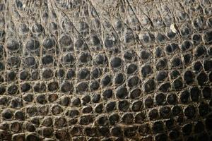 crocodile du Nil. Texture de la peau.