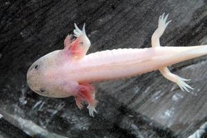 axolotl photo