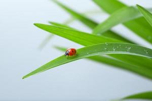 coccinelle sur feuille photo