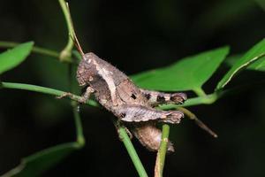 sauterelle dans la nature