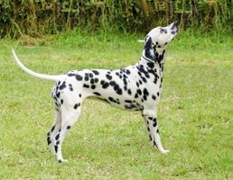 chien dalmatien photo