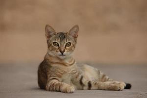 chat tigré couché photo