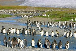 jeunes pingouins royaux photo