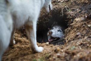 husky dans un trou