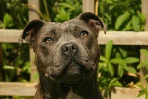 Staffordshire bull terrier bleu photo