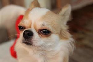 chien chihuahua photo