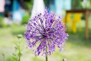 oignons décoratifs photo