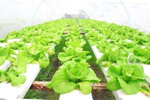 légumes hydroponiques poussant en serre