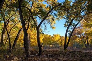 arbres de peuplier d'automne photo