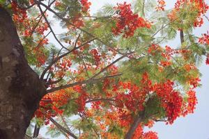 arbre de flamme photo
