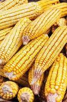 détail avec grains de maïs photo