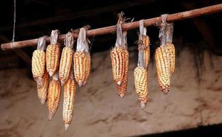sécher le maïs photo